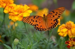 gulf-fritillary-butterfly-1839556_960_720