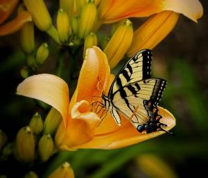 butterfly-144053_960_720